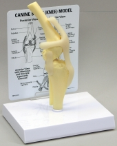 Canine Knee Model by GPI Anatomicals