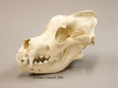 Saint Bernard Dog Skull