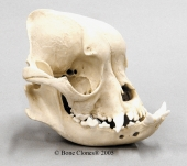 English Bulldog Skull