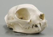 Common House Cat Skull