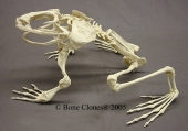 Assembled Goliath Frog Skeleton